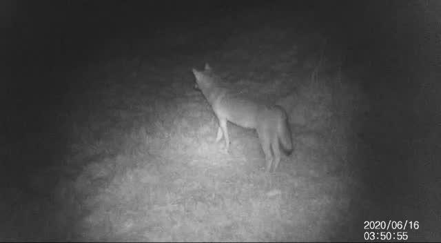 Video: Il lupo ripreso al Mottarone