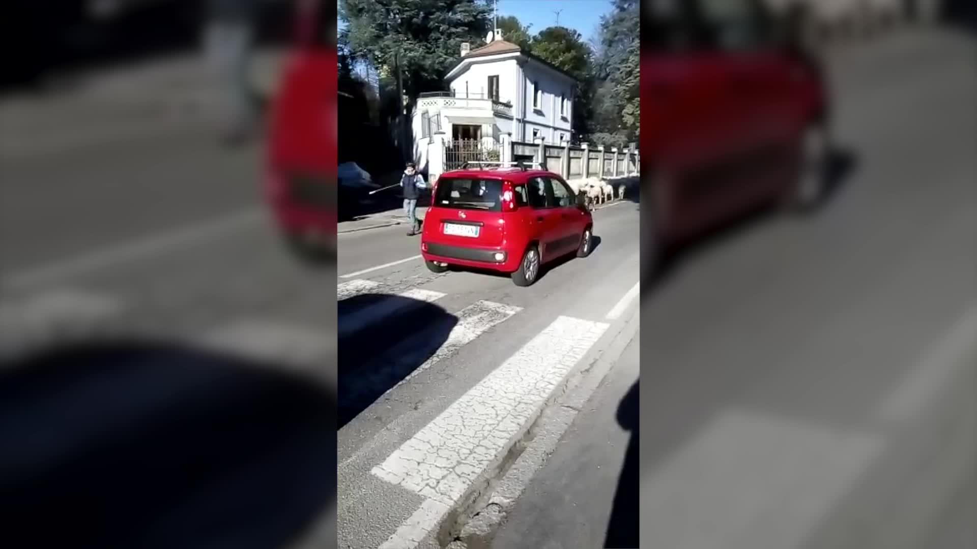 Video: Attenzione: attraversamento pecore a Sant'Ambrogio a Varese