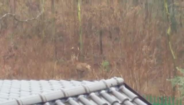 Video: Avvistati due cervi nei boschi di Gazzada Schianno