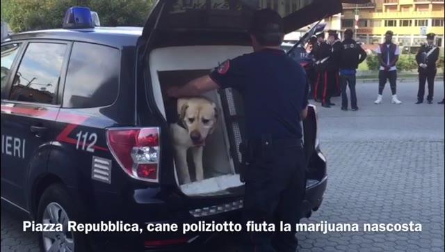 """Video: Il cane """"Argo"""" fiuta la marijuana in piazza Repubblica"""