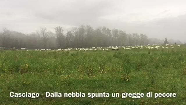 Video: Pecore nella nebbia a Casciago