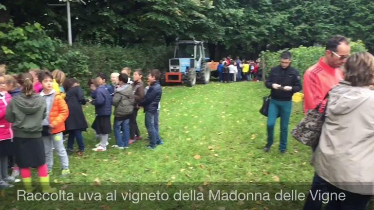 Video: Raccolta dell'uva alla vigna comunale
