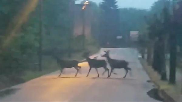 Video: Tre cervi attraversano la strada a Cuasso