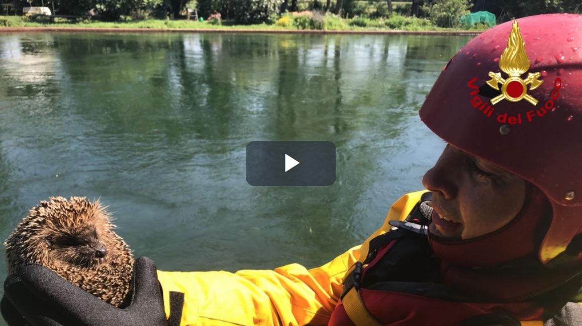 Video: Riccio rischia di annegare, davanti ai vigili del fuoco